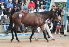Belle Couture, a half sister to Black Caviar, as a yearling