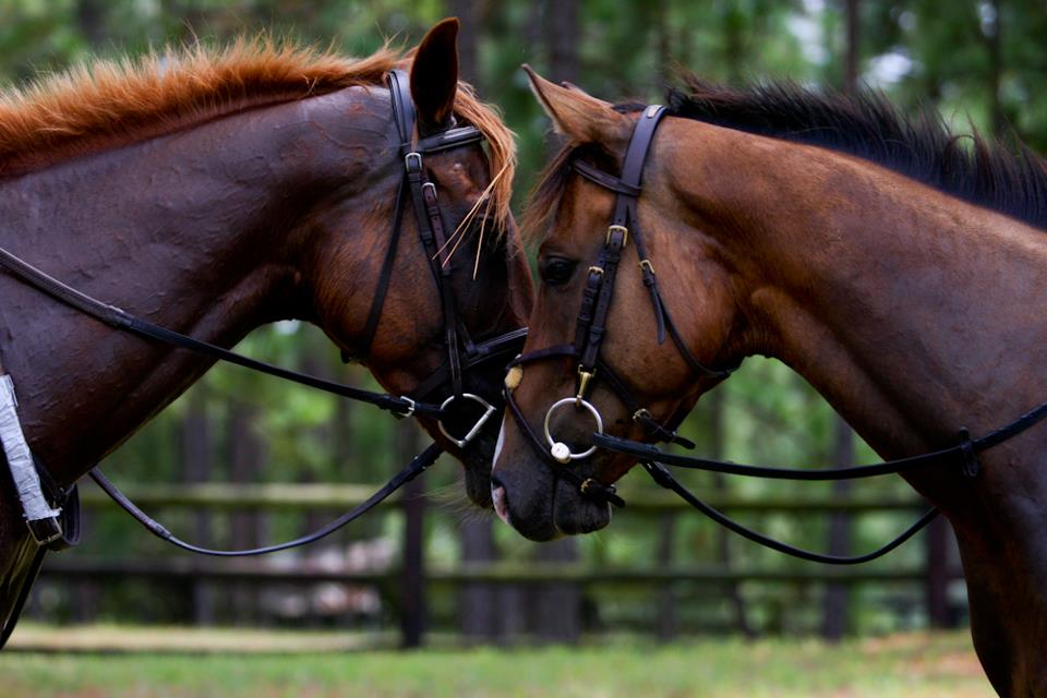 CANTER horses