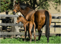 Helsinge, with her 2012 filly, a full sister to Black Caviar