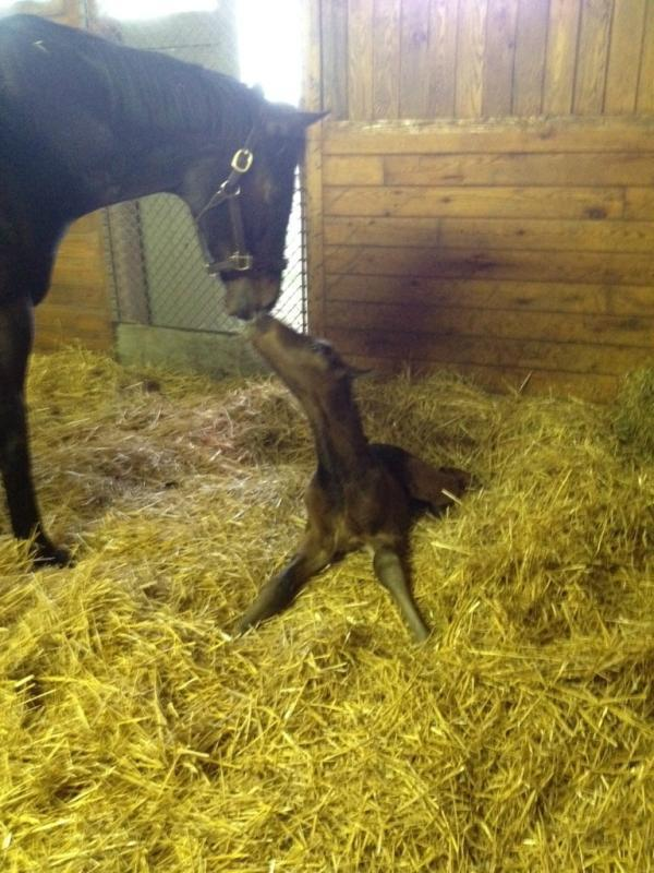 Rachel Alexandra Gives Birth To A Colt By Curlin Horse