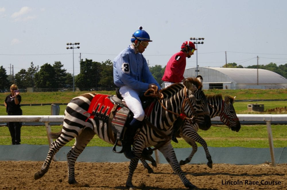 What A Zoo Zebras Amp Ostriches To Race At Fair Grounds Jan
