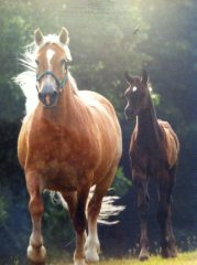 Nurse mare, Blondie, with foal at Roseberry's Nurse Mares farm