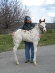 Painted Patchen, seen here as a foal