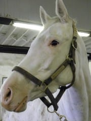 White Patchen Wilkes mare Precious Beauty