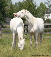 Cloud Ten and White Pharaoh, stars of Disney's The Lone Ranger