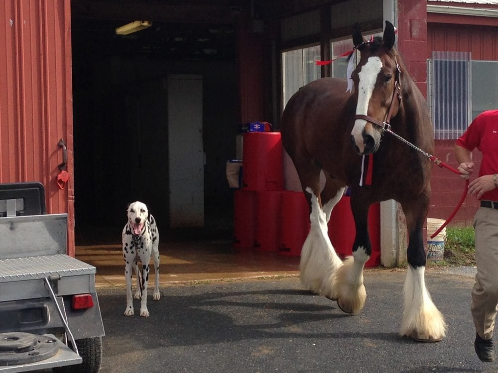 World Famous Budweiser Clydesdales Arrive At Penn National