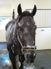 Take Charge Indy gets a bath before heading to WinStar