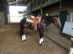 OTTB Kinsale King readies for his first day as a stable pony