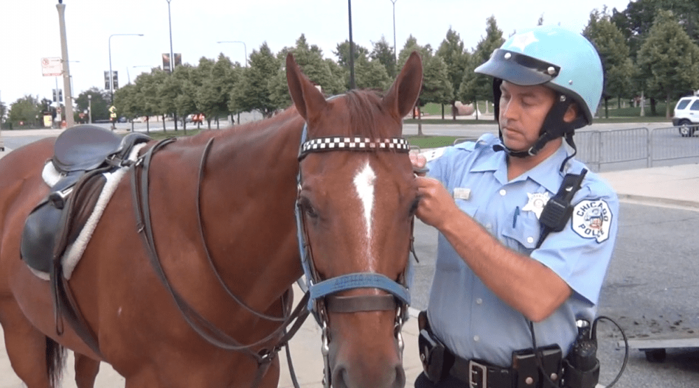 "Some police departments take on OTTBs. Billy Cales of the Chicago Mounted Police attends to his partner, ""Airhart"""