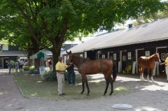 Fasig-Tipton New York-bred sale