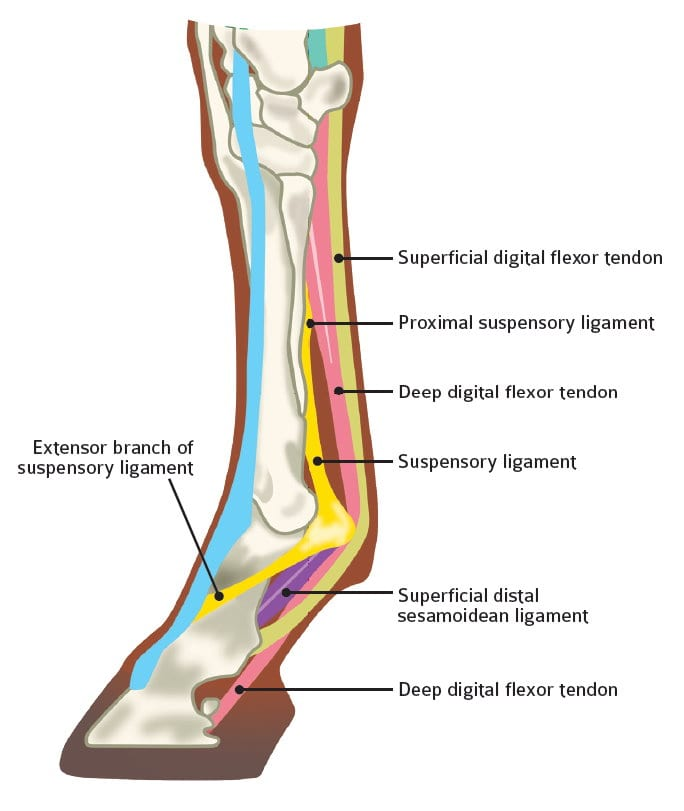 Diagram EDIT new research on aging equine tendons provides clues about human