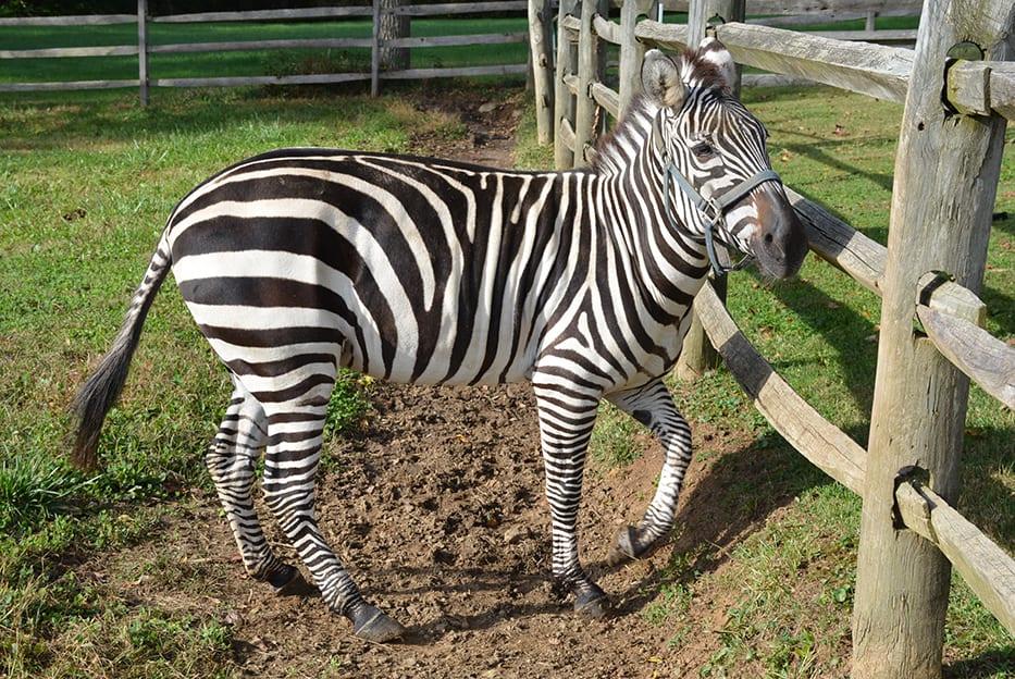 Case Of Zippy The Zebra Could Provide Tips For Laminitis