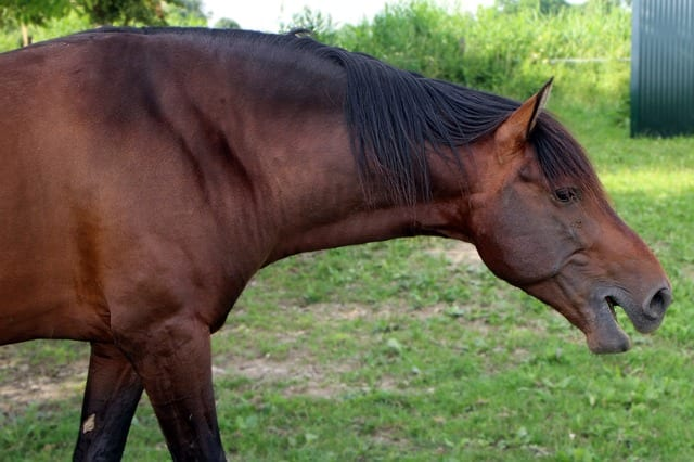 Deeper Voiced Stallions More Fertile Attract More Mares