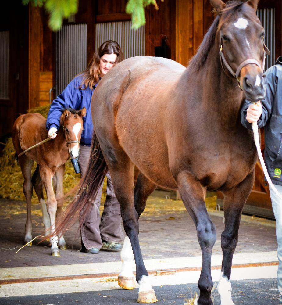 Baby Steps Teaching A Foal To Be Led Horse Racing News