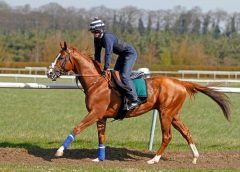 California Chrome, seen galloping at Newmarket in April (photo courtesy Racing UK)