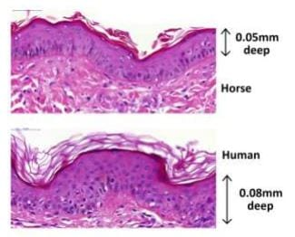 Horses More Sensitive To Pain Than Previously Thought