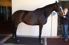 A horse at Pegasus Training Center models the facility's vibration plate there