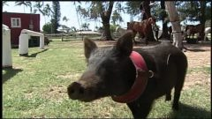 Wilma the semi-feral pig has been adopted by a group of polo ponies in Hawaii