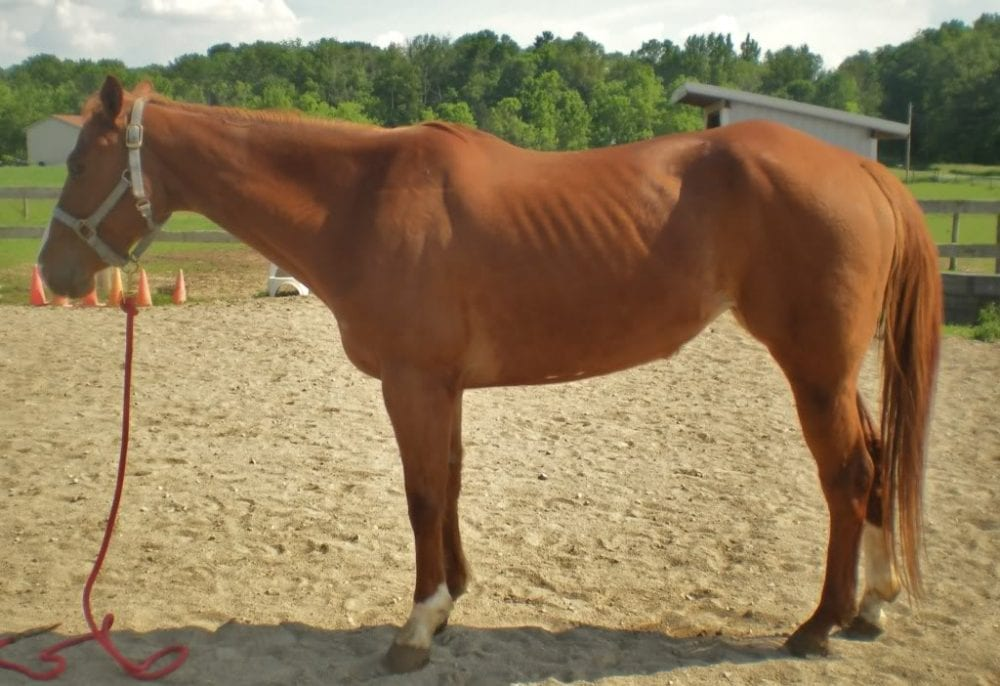 The Skinny On The Factors Behind Equine Weight Loss