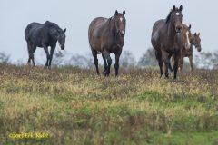 Claiborne Farm mares