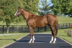 California Chrome, at Taylor Made Farm  in 2015
