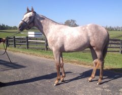 Mr Maybe as a yearling at Gainesway Farm