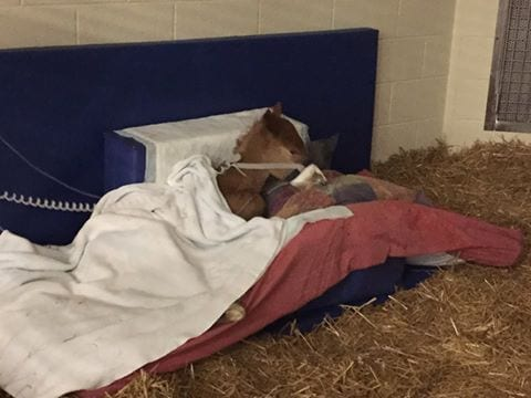 Icu Does Not Spell End For Foals Or Their Breeders