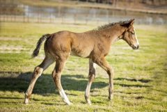 Strong_Mandate_Foal