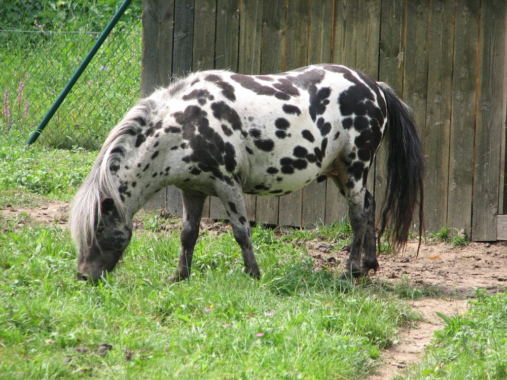 Black And White Paint Ponies For Sale
