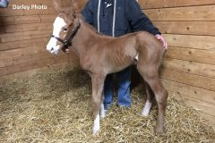 Shortly after birth, this colt by Alpha stands with a bit of help.