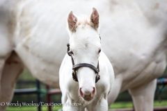 This white Thoroughbred colt by Get Stormy isn't yet three days old in this photo!