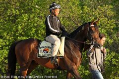 Exaggerator (Curlin) prior to the 2016 Preakness Stakes