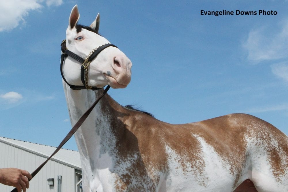 Paint Thoroughbred Filly Runs Thursday At Evangeline Downs Horse Racing News Paulick Report
