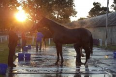 Keen Ice enjoying his post-work bath in the early morning sun at Saratoga on Aug. 27