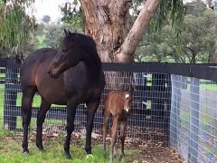 Black Caviar and her 2016 filly by Snitzel (photo courtesy Trent Masenhelder/Twitter)