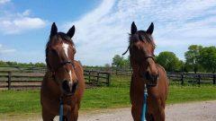 "Samantha Kline's two horses, Prae and Venture World, aka ""V"""