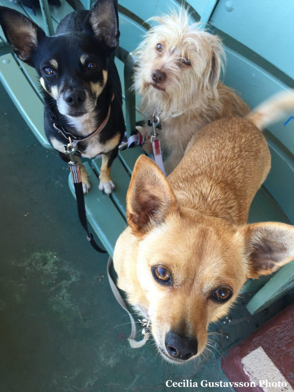 Banks, Baldwin, and Barney (L to R) at Santa Anita