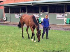 Oscietra (Exceed And Excel x Black Caviar) enjoys a pick of grass after a workout at Flemington