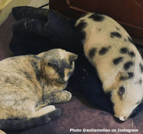 Chicharron snoozes alongside one of the Motion cats
