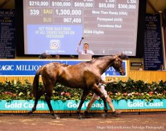 A yearling by More Than Ready raised 1.3 million AUD at the second day of the Magic Millions Gold Coast Yearling Sale