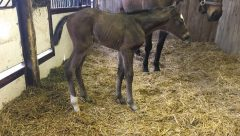 GSW Tapiture's first foal, a filly, was born Jan. 10 at Wynnstay Farm. She's out of the More Than Ready mare, Set'n On Ready