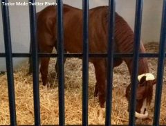 California Chrome in his new stall at Taylor Made Farm