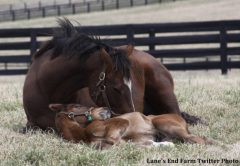 Lane's End posted this photo of a young Guest Suite after the colt's Derby points-earning performance in the Lecomte