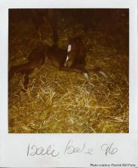 The colt who would become Charismatic, minutes after his birth in 1996