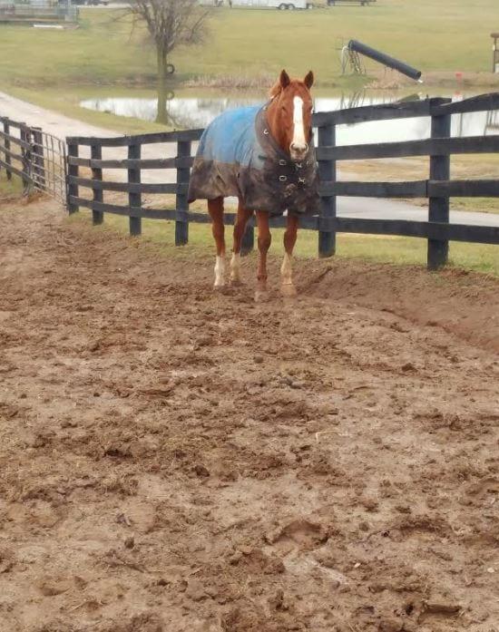 Managing Mud Induced Maladies In Horses Horse Racing News Paulick Report