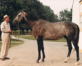 Spectacular Bid, Hall of Fame racehorse trained by Buddy Delp, pictured at Claiborne Farm in 1981