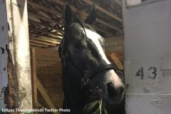 Tapwrit (Tapit) in his stall after an impressive second in the Sam F. Davis Stakes