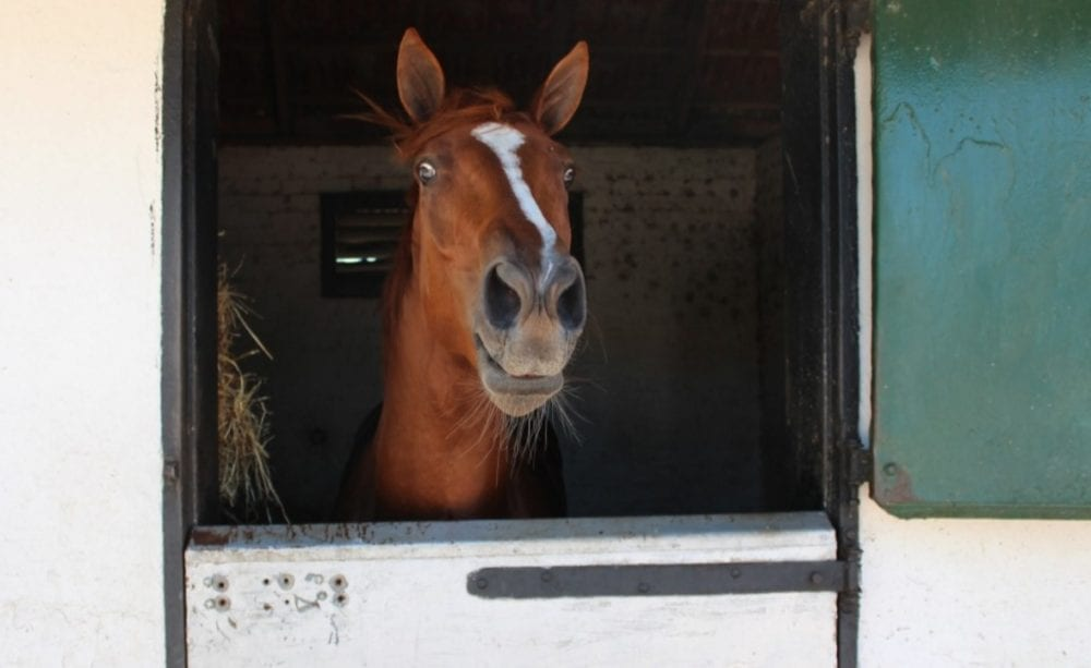 The now-gelded President Trump peers out from his stall at trainer Justin Snaith's stable. (photo courtesy trainer Justin Snaith)