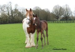 Royal Delta's foal with foster mare Ginger