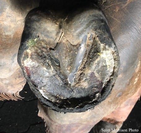 With Wet Weather Comes A New Hoof Problem Retracted Soles
